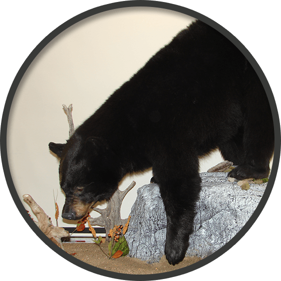 Mount of a life size black bear climbing down a rock
