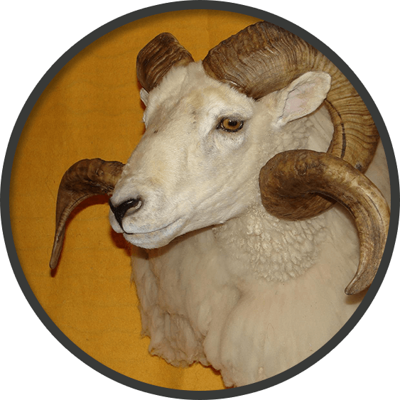 Game head mount of a male mount goat