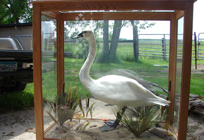 Snow Goose mount in a glass cabinet