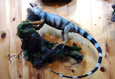 Taxidermy mount of a large iguana