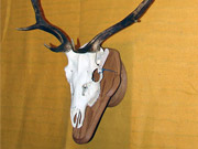 Antler Mount - Great Bear Taxidermy