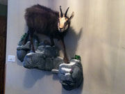 Exotic Animal Mount - Great Bear Taxidermy