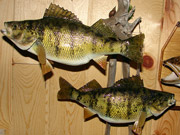 Taxidermy Fish Reproduction - Great Bear Taxidermy