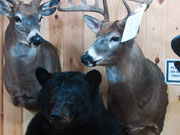 Game Head Mount - Great Bear Taxidermy