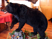 Life Size Mount - Great Bear Taxidermy