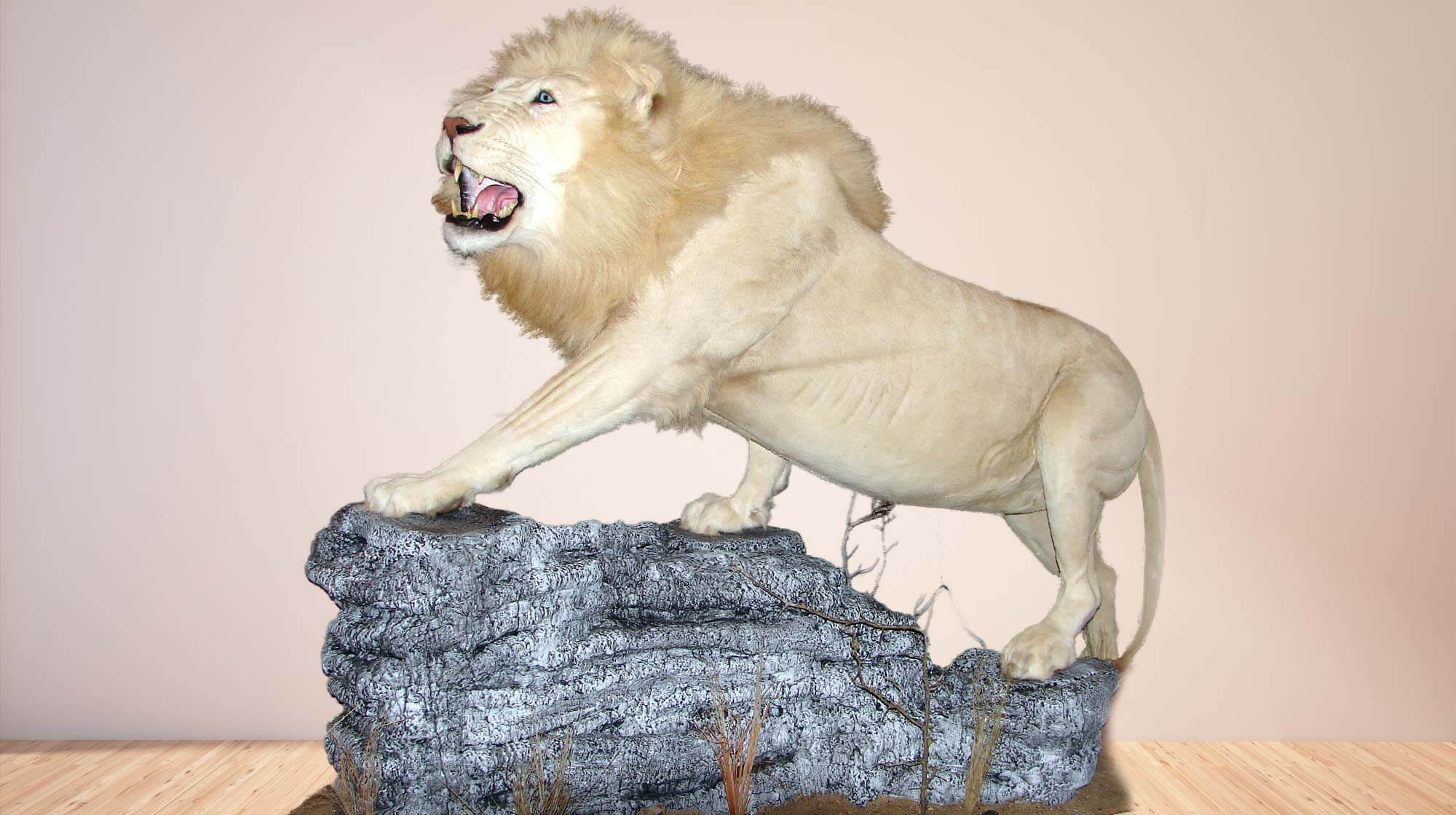 Life size mount of a white maile lion standing on a rock