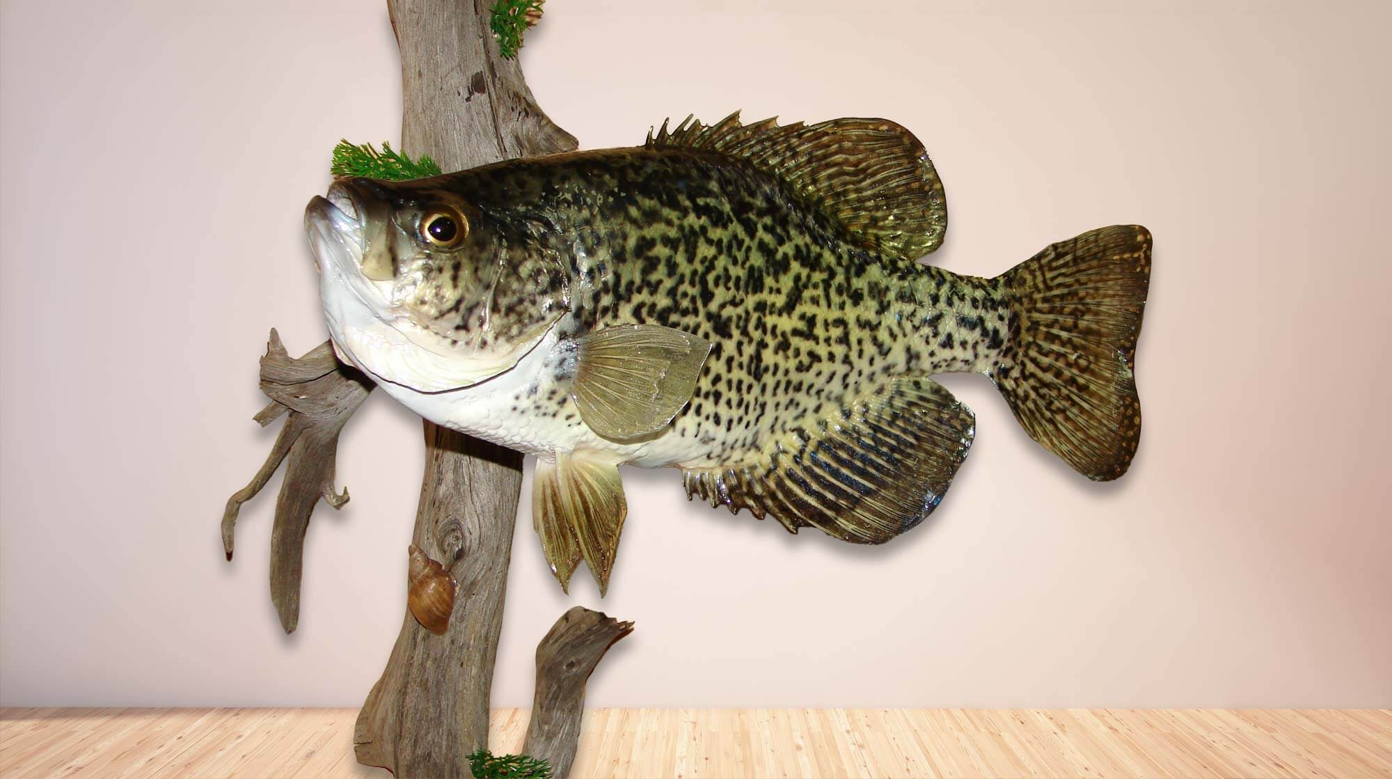 Mount of a large black crappie