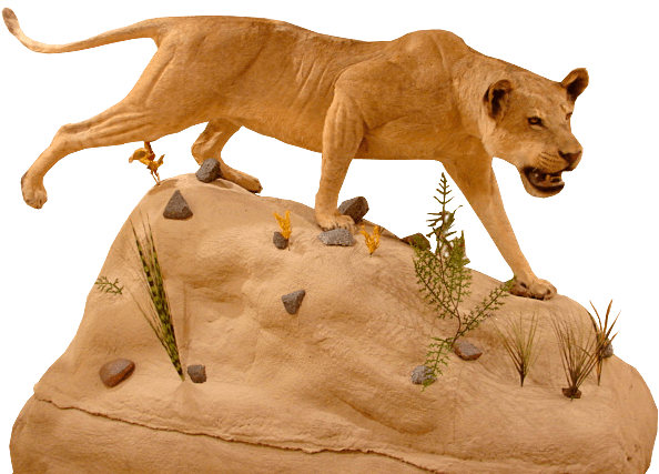 Life size mount of a female lion in hunting pose on a rock